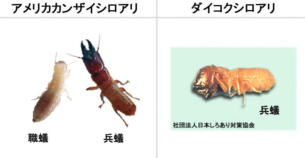 アメリカカンザイシロアリとダイコクシロアリ