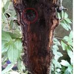 庭木枝落ち部のシロアリの被害