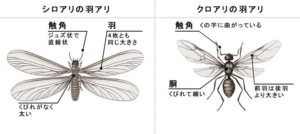 羽アリの見分け方