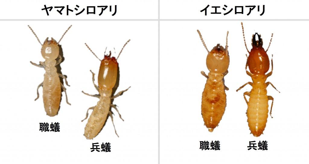 ヤマトシロアリ」の検索結果 - Y...